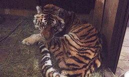 เศร้า เสือสาวปวดฟันหนัก-นอนขวางประตูบ้านให้คนช่วย ตายแล้ว