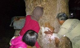 กลิ่นแป้งหอมฟุ้ง ชาวบ้านบูชาต้นกระโดนยักษ์ ให้โชคมานานหลายปี