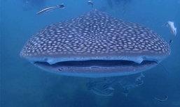 ฉลามวาฬ ยาว 5 เมตร โผล่เกาะมันนอก จ.ระยอง