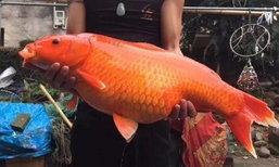 ฮือฮา ปลาทองเมืองจีน...ใหญ่มหึมา ขนาดเท่ากับเด็ก 2 ขวบ