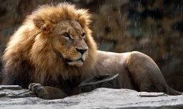 เจ้าหน้าที่สวนสัตว์เม็กซิโกลืมปิดประตู ถูกสิงโตขย้ำดับสยองคากรง