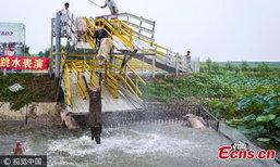 ชุ่มฉ่ำ! ฟาร์มในจีนฝึกหมูโดดน้ำ เพิ่มคุณภาพความนุ่ม