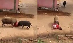 เผยคลิประทึก หญิงสูงวัยอินเดียถูกหมูกัด ฟัดจนล้มตัวงอ
