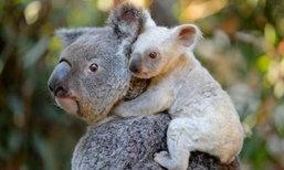 น่ารัก! สวนสัตว์ออสซี่เผยโฉมลูกโคอาล่าสีขาว พร้อมชวนตั้งชื่อ