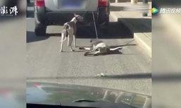วิจารณ์ยับ! เจ้าของจับสุนัขผูกคอลากกับรถให้วิ่งตาม อ้างฝึกเตรียมแข่ง