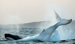 """ภาพหาชมยาก! """"มิกาลู"""" วาฬหลังค่อมเผือก กลับมาอวดโฉมอีกครั้ง"""