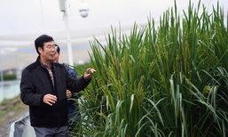 """จีนทดลองปลูก """"ข้าวยักษ์"""" พันธุ์ใหม่ สูงกว่าคน 2.2 เมตร"""