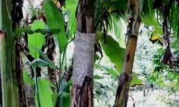 ต้นกล้วยตานีจันทบุรี 90 ต้น ประดับพระจิตกาธาน
