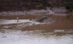 เร่งช่วยช้างป่าลอยคอในคลองชมพู หลังถูกน้ำป่าพัด