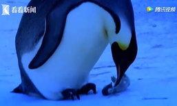 แม่เพนกวินสุดเศร้า ยากจะทำใจลูกน้อยหนาวแข็งตาย