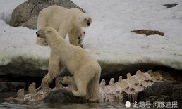 หมีขั้วโลกแทะกินสัตว์บางอย่าง กระดูกยาวแบบที่ไม่เคยพบมาก่อน