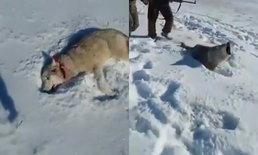 ร้องลั่น หมาป่าถูกยิงนอนแน่นิ่ง ลุกวิ่งไล่กัดพรานที่สังหาร
