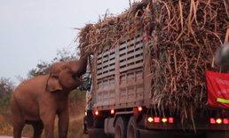 หมอล็อตถอนใจ ช้างป่าสีดอดักเก็บส่วยรถอ้อย ฉลาดเกินไปแล้ว