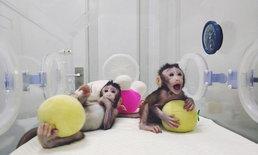 """เตรียมพบกับ """"เมิ่งเมิ่ง"""" ลิงโคลนฝีมือนักวิทย์ฯ จีนตัวล่าสุด"""