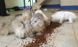 พบแมวเปอร์เซีย 13 ตัว ถูกทิ้งในทาวน์เฮ้าส์ ปล่อยหิวโซนาน 2 เดือน