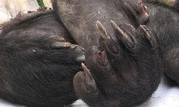 พรานใจโฉดยิงหมีควายกุยบุรี ชำแหละเนื้อเตรียมส่งขาย