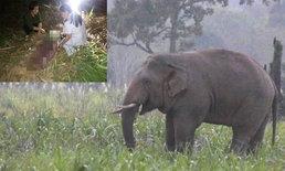 """""""เจ้าเบี่ยง"""" ช้างป่าเขาใหญ่ตกมันทำร้ายชาวบ้านดับคาป่าอ้อย"""