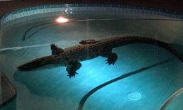 ตะลึง! จระเข้ยักษ์ 3 เมตร โผล่สระว่ายน้ำหลังบ้าน