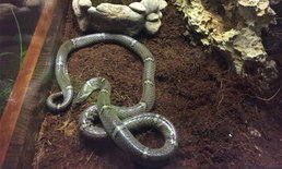 """ค้นพบงูชนิดใหม่ของโลก """"งูปี่แก้วไทรโยค"""""""