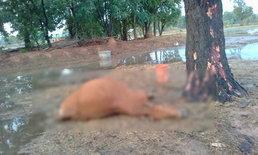 ฝนตกหนักฟ้าผ่าวัวตาย ขณะหลบฝนอยู่ใต้ต้นไม้กลางทุ่งนา