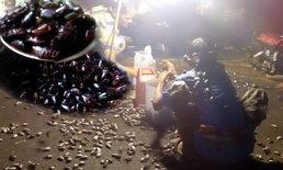 อร่อยได้ปีละครั้ง แห่เก็บแมงพลัดส่งขายสร้างรายได้เป็นหมื่น