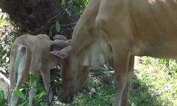 """ปศุสัตว์จำเป็นต้องทำลาย """"แม่วัว"""" ติดโรคพิษสุนัขบ้า ลูกวัว-เจ้าของเสี่ยงรับเชื้อ"""