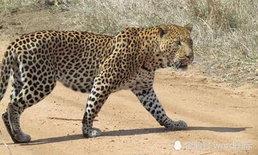 ช็อก เสือดาวบุกขย้ำลากเด็ก 3 ขวบ ไปกินกลางซาฟารีที่ยูกันดา