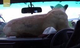 มีสะดุ้ง นางสิงโตโดดขึ้นหน้ารถซาฟารี เอนตัวนอนเล่นสบายอารมณ์