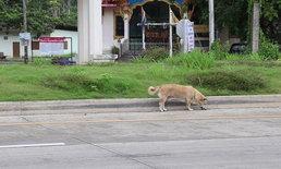 สุนัขพลัดตกรถกระบะ ยังนั่งเศร้ารอเจ้าของอยู่ที่เกาะกลางถนน