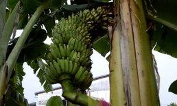 ส่องดูเลขเด็ด พบต้นกล้วยประหลาดเครือชี้ฟ้าออกลูกกลางลำต้น