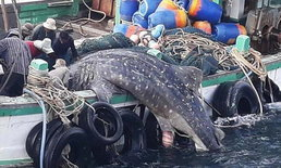 """โทษปรับสูงสุด 3 ล้านบาท ตำรวจเร่งสอบเรือประมงจับ """"ฉลามวาฬ"""""""