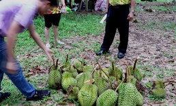 ชาวสวนอ่วม พายุถล่มสวนทุเรียนจันทบุรีก่อนเก็บผลผลิตขาย เสียหายไม่ต่ำกว่า12 ล้าน