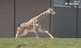 สวนสัตว์สหรัฐฯ วุ่น ลูกยีราฟหลุดจากส่วนจัดแสดง ล้อมจับกว่า 2 ชม.