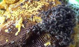 ตีรังเอาบ้านคืน! ฝูงผึ้งทำรังแรมปี เจ้าของสุดทนถูกต่อยระบม จ้างพรานไล่