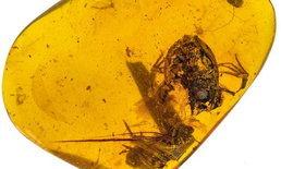 """นักวิจัยจีนพบซาก """"กบในอำพัน"""" ที่เมียนมา อายุกว่า 99 ล้านปี"""