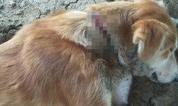 ทารุณ! พบสุนัขลำคอถูกรัดเป็นแผลเหวอะนำส่ง รพ. คาดฝีมือกลุ่มเลี้ยงไก่ชนที่กลัวจะเข้าไปกัด