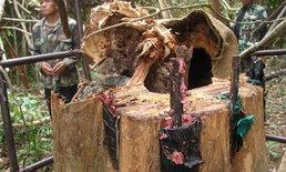 สุดยื้อ! ไม้พะยูง 100 ปี ที่ถูกลอบตัดล้มแล้ว หลังกรมป่าไม้ทำบายพาสผ่านมา 5 เดือน