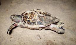 ศพที่ 3! พบเต่ากะตายหน้าหาด คาดกินถุงพลาสติกอีก กองทัพเรือรับตรวจพิสูจน์