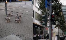 เป็นระเบียบสุดๆ ฝูงเป็ดข้ามถนน หยุดรอสัญญาณไฟแดงที่เยอรมนี