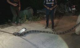จับหัวขโมยไก่ชนได้แล้ว ที่แท้คืองูเหลือมยาวกว่า 5 เมตร