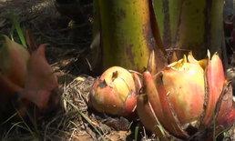 เลขเด็ดคอหวย ฮือฮาต้นกล้วยออกหน่อคล้ายดอกบัวตูม คอหวยแห่ขอเลขเด็ด