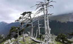 ตะลึง! พบต้นไม้เก่าแก่อายุ 1,230 ปี และยังคงเจริญเติบโตไม่หยุด