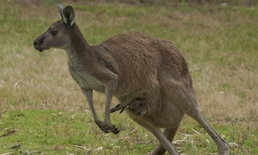 จนท.อุทยานออสเตรเลียจำใจฆ่าจิงโจ้ หลังเอาลูกธนูที่เสียบหัวออกไม่ได้