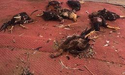 ฝูงหมาบุกขย้ำไก่ชนราคาแพงตายเกลื่อนฟาร์ม เสียหายหลายแสนบาท