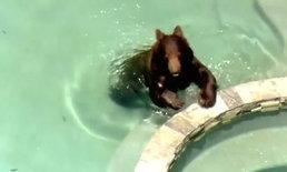 แตกตื่น! เจ้าหน้าที่ไล่จับหมีสีน้ำตาล หลุดออกมาเล่นในสระว่ายน้ำบ้านคน