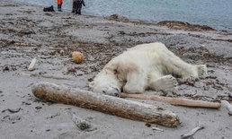 """""""หมีขั้วโลก"""" โดนยิงตาย ขณะทำร้ายการ์ดดูแลนักท่องเที่ยวจนบาดเจ็บ"""