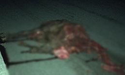 """""""ฝูงม้า"""" วิ่งตัดหน้ารถทัวร์ตอนเช้ามืด ผู้โดยสารเจ็บสาหัส 13 ราย ตาย 1 ศพ"""