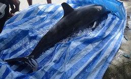 เศร้าอีก-พบลูกโลมาปากขวดวัย 3 เดือน เกยตื้นตายชายหาดราไวย์คาดพลัดจากแม่