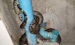 """ถึงกับผวา! รักษาการ ผอ.โรงเรียนโร่แจ้งกู้ภัย หลัง """"งูหลามยักษ์"""" ควงคู่กันบุกบ้าน"""