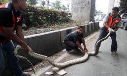 งูเหลือมยักษ์เลื้อยหนีเร็ว เข้าช่องทางด่วนพหลโยธิน ไล่จับทุลักทุเล